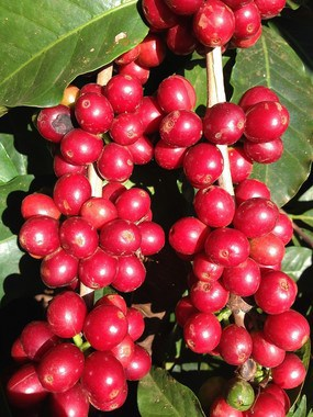 Bright Red Coffee Cherries